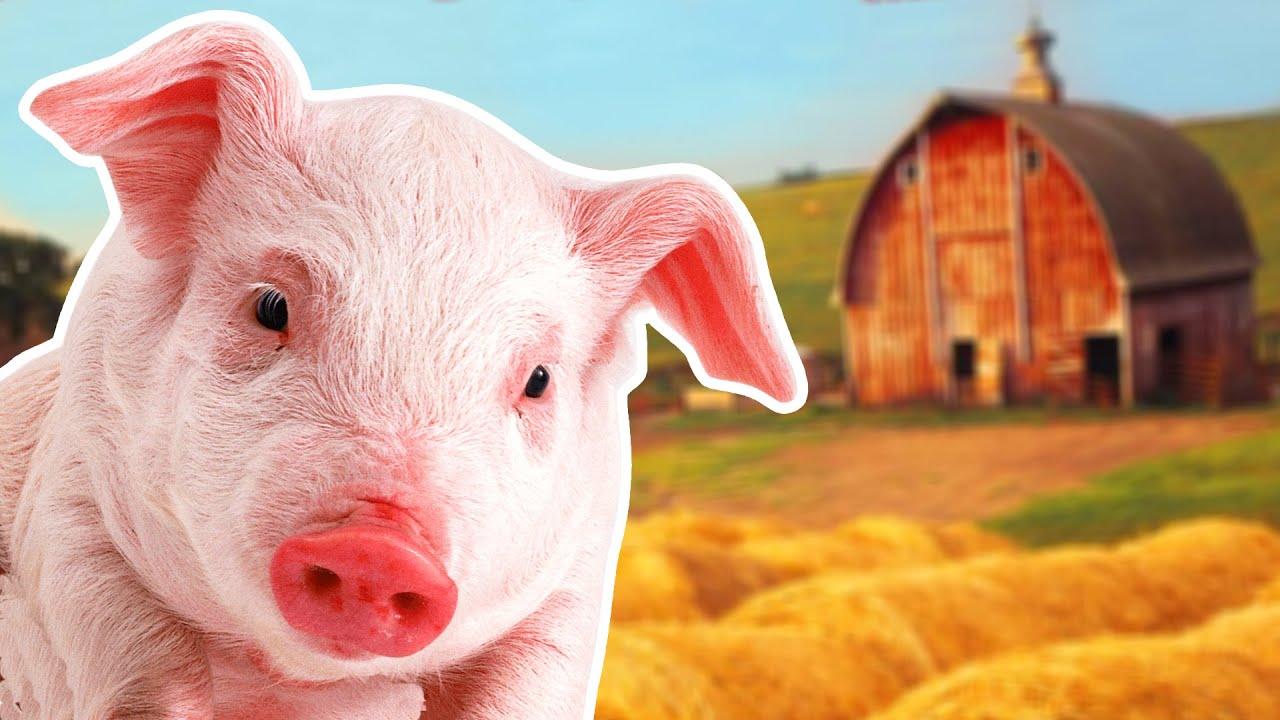Американские хирурги впервые успешно пересадили человеку почку свиньи